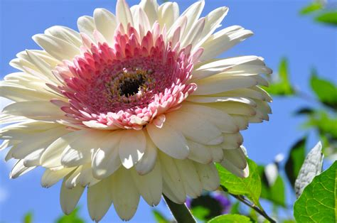 wallpaper nature flower pictures beautiful daisies in the garden wallpapers and images