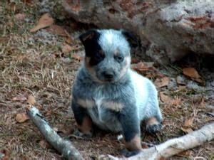 blue heeler puppies ohio 20 best images about blue heeler on blue heeler and blue and donkeys