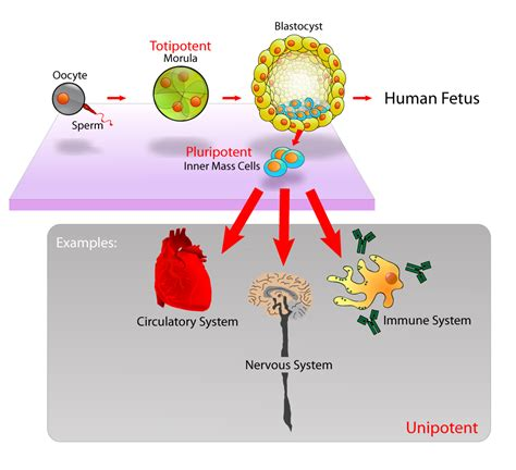 stem cell diagram cell potency