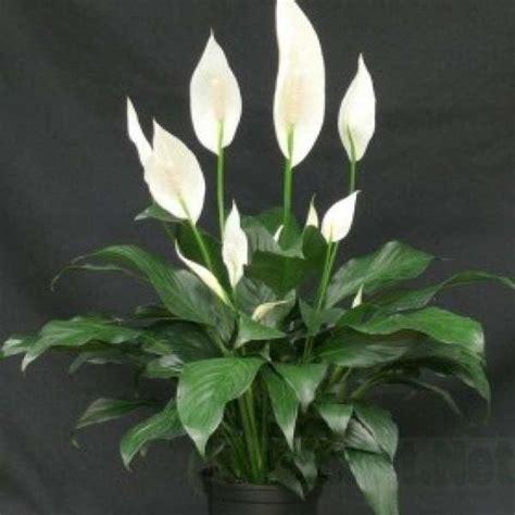 Pupuk Untuk Bunga Lili jual bibit unggul tanaman peace spathiphyllum