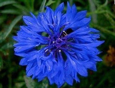 fiordaliso fiore foto fiori fiordaliso fiori delle piante