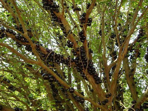 jabuticaba fruit tree leaves of grass jaboticaba tree jaboticabeira