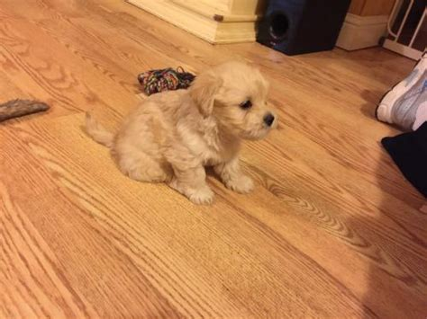 havanese puppies carolina south carolina for sale puppies for sale
