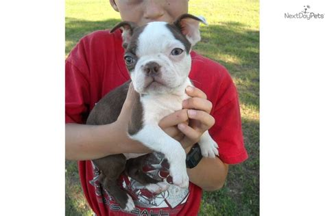 boston terrier puppies for sale in florida akc boston terrier puppies for sale florida 43297 breeds picture