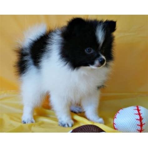 pomeranian puppies for sale and adoption pomeranian puppies and dogs for sale and adoption freedoglistings breeds picture
