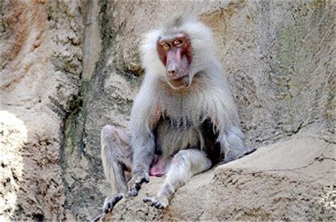 foto sedere pi禮 bello mondo 5 painfully accurate human behaviors in the primate world