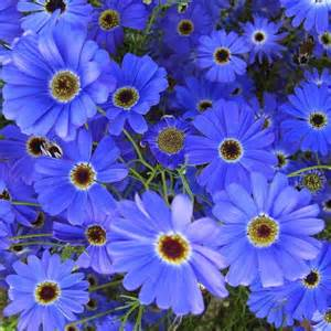 Zone Map Gardening - brachycome seeds for sale swan river daisy annual flowers