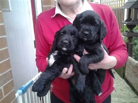 springador puppies 17 best images about labradingers on this weekend coloring and spaniels