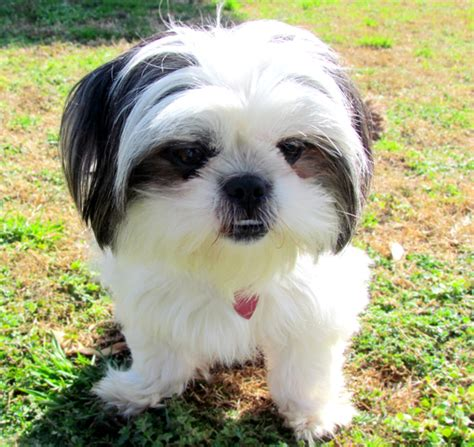 white baby shih tzu baby shih tzu white www pixshark images galleries with a bite