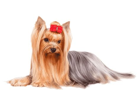 yorkie behavior traits terrier breed information facts pictures temperament and characteristics