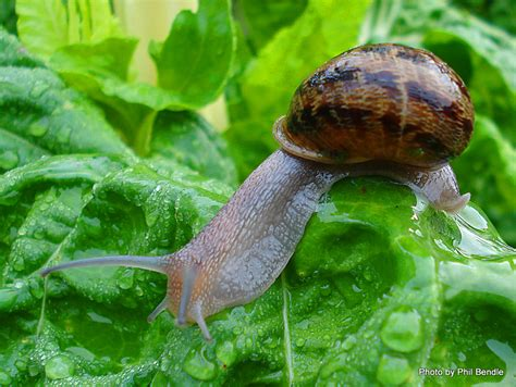 Snails In Garden by Helix Snails