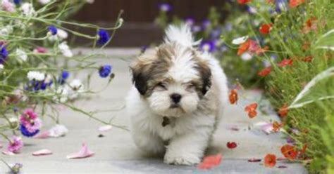 difference between maltese and shih tzu what is the difference between lhasa apso shih tzu breeds lhasa apso lhasa
