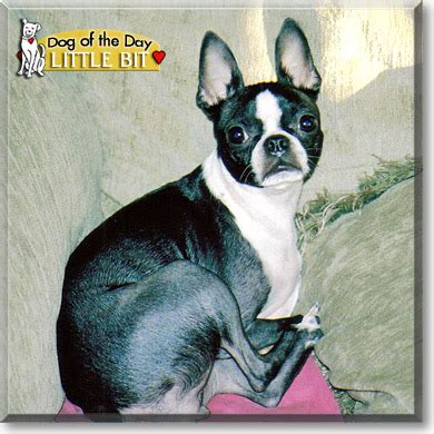 yorkie knee problems boston terrier knee problems breeds picture