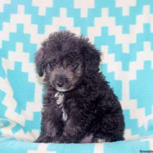 newfoundland puppies nj newfoundland puppies pa nj md ny de breeds picture