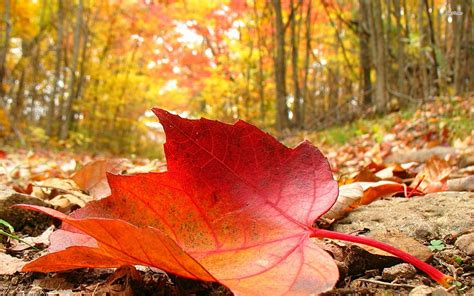 Fallen leaf wallpaper   Photography wallpapers   #12527