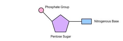 diagram of nucleotide nucleotides bioninja