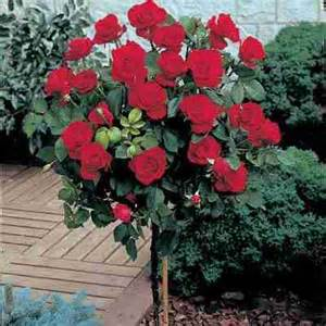 Patio Roses For Sale by Pros Amp Cons Of Growing A Mister Lincoln Rose Mr Abraham