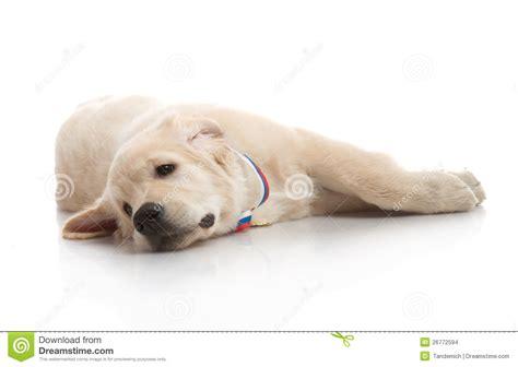 golden retriever 3 months puppies three month puppy golden retriever stock images image 26772594