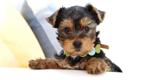 yorkie terrier for free and adorable puppy pictures cuteness overflow