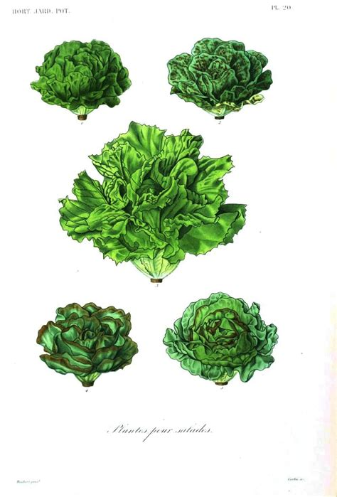 vegetables 8x jpg botanical illustration vegetable www imgkid the