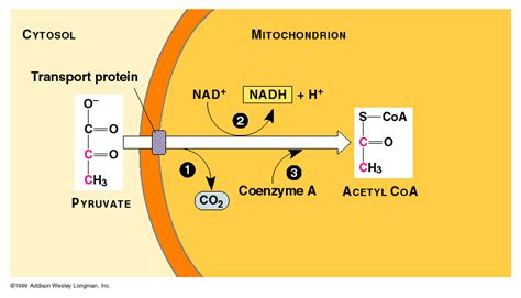 pyruvate oxidation diagram cellular respiration