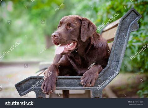 bench labrador young labrador retriever puppy on bench stock photo