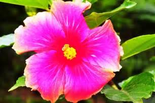 gumamela flower flickr photo sharing