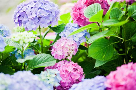 change colour of hydrangea plant tutorial the whoot