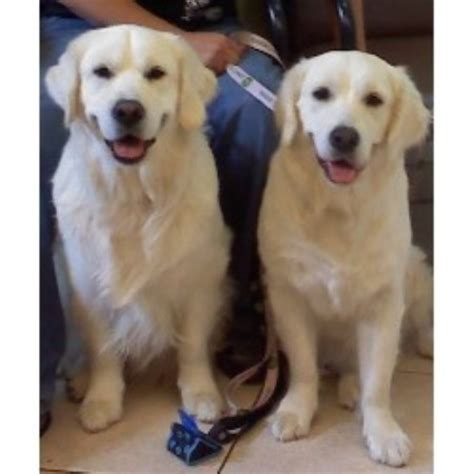 golden retriever breeder chicago snowy paw retrievers golden retriever breeder in west chicago illinois
