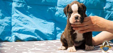 alimentazione cucciolo boxer cucciolata di boxer allevamento boxer della vecchia baviera