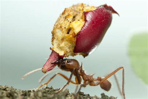 come eliminare le formiche dalla cucina come eliminare le formiche rimedi naturali e non donnad