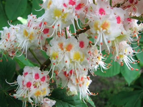 pink flowering horse chestnut tree images