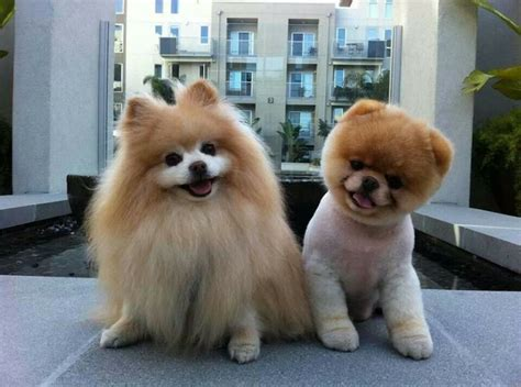 pomeranian hairless he s just a pomeranian rosalie s picks
