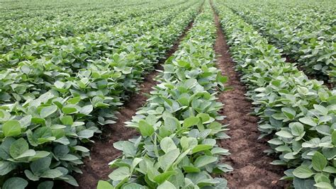Can Soybeans Be Planted To Detox Land by Farming Tips Sugar Beans News As It Happens