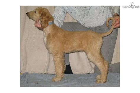 akc afghan hound puppies for sale afghan hound for sale for 1 200 near great falls montana c1213e4e 3151
