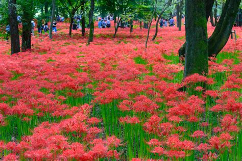 japan turns red   red spider lily festival
