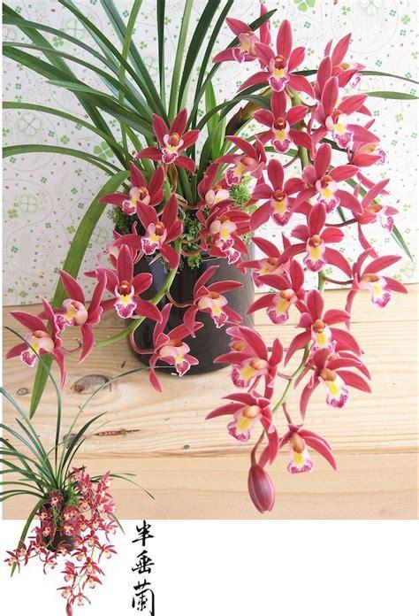 mini red cymbidium silk orchids in asian planter o140 orchid fragrant tropical cascading cymbidium mystique