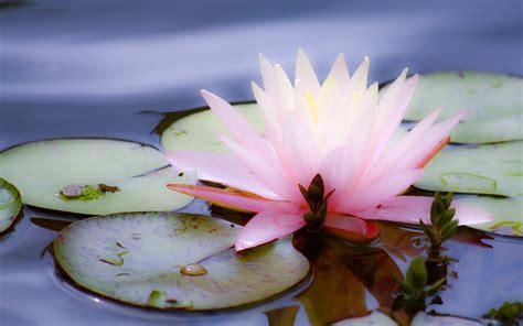 lotus desktop wallpaper beautiful wallpapers lotus wallpapers hd