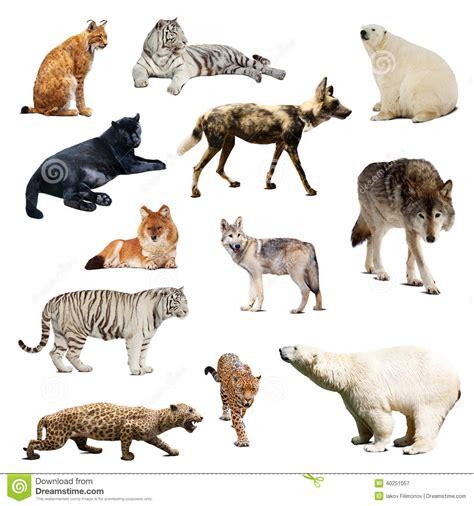 imagenes de animales vertebrados mamiferos sistema de mam 237 feros depredadores aislado sobre blanco