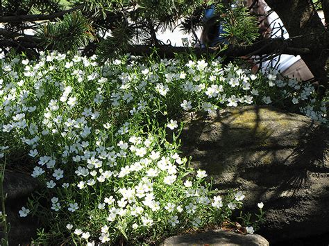 Landscape Design Pictures For Small Yards Mountain Sandwort Arenaria Montana In Burlington