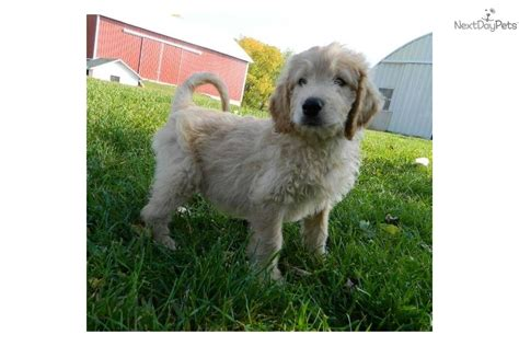 doggie doodle martinsville indiana meet a goldendoodle puppy for sale for 650