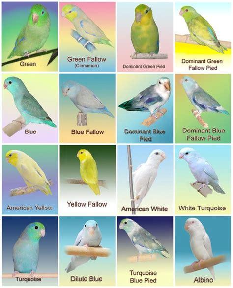 pacific color parrotletbirds parrotletbirds s page 2