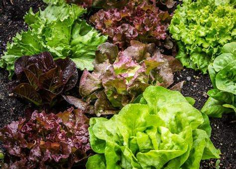 how to pick garden lettuce