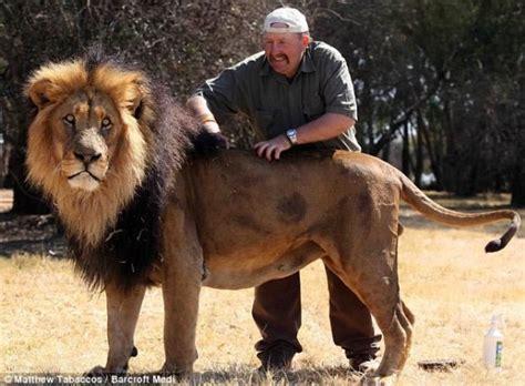 imagenes de leones en zoologico cuidador de zool 243 gico peina leones con quot spray quot fotos