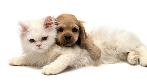puppy and cat white cat and puppy wallpapers and images wallpapers