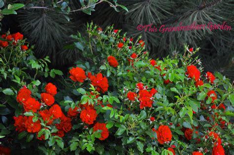 this grandmother s garden rosa caramba