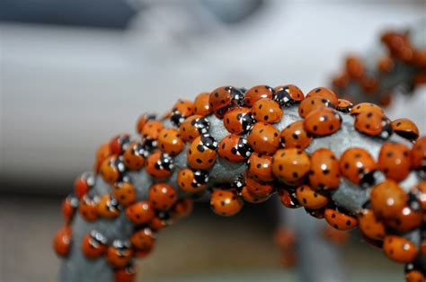 ladybug vs asian lady beetle with pics quirk brain