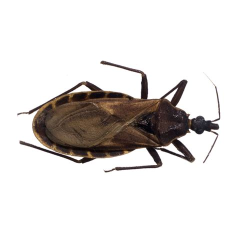 bed bug diseases america s war on the kissing bug and chagas disease the new yorker