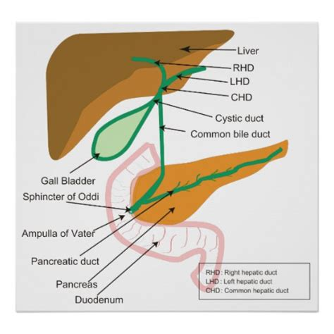 diagram of bile duct system diagram of the human biliary system bile duct poster zazzle