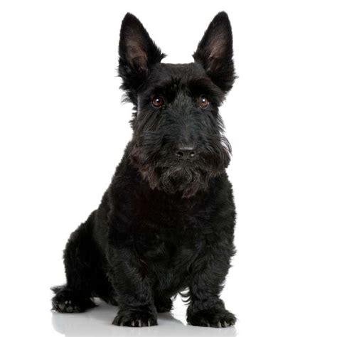 scottish dogs scottish terrier